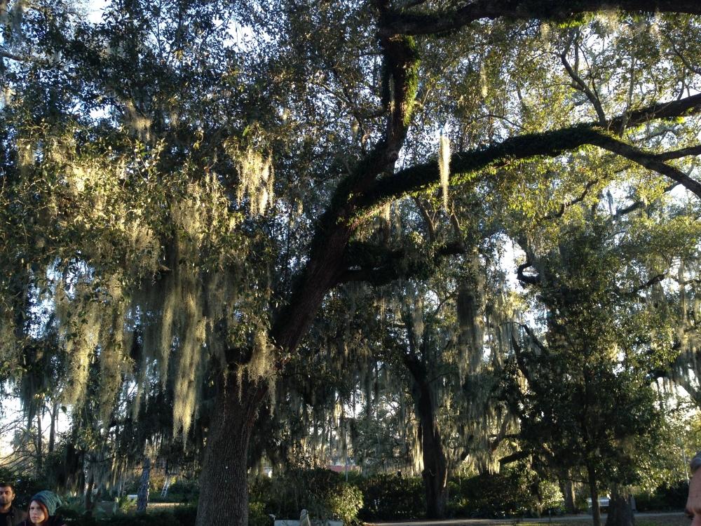 Spanish moss in City Park